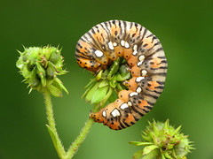 Gold Moth Caterpillar