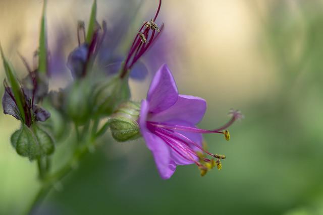 Bigroot geranium (Geranium macrorrhizum), Nikon D3300, AF-S Micro Nikkor 60mm f/2.8G ED