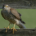 Sparrow-hawk - Sperwer