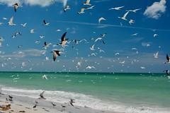 Shorebird Flight