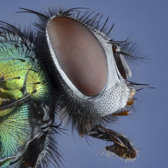 Metallic Green-bottle Fly
