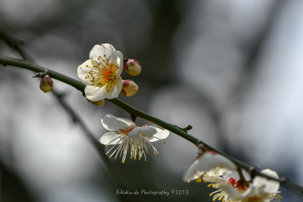 Hama Rikyu Gardens / a lot of red plum, white plum
