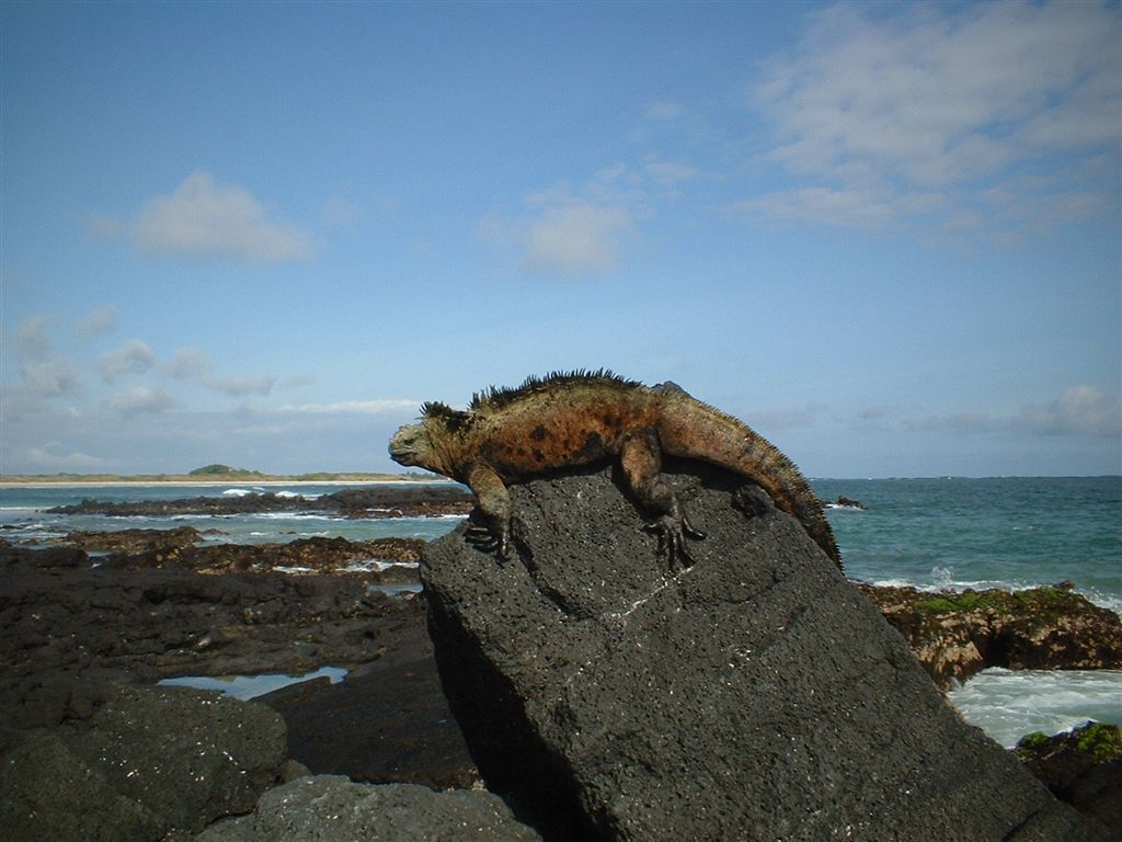 The marine iguana (Amblyrhynchus cristatus), also known as the sea iguana, saltwater iguana, or Galápagos marine iguana, is a species of iguana found only on the Galápagos Islands (Ecuador) that has the ability, unique among modern lizards, to forage in the sea, making it a marine reptile. Photo taken by <a href=