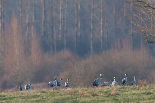 Grue cendrée Grus grus - Common Crane