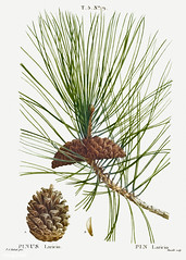 Black pine (Pinus laricio) illustration from Traité des Arbres