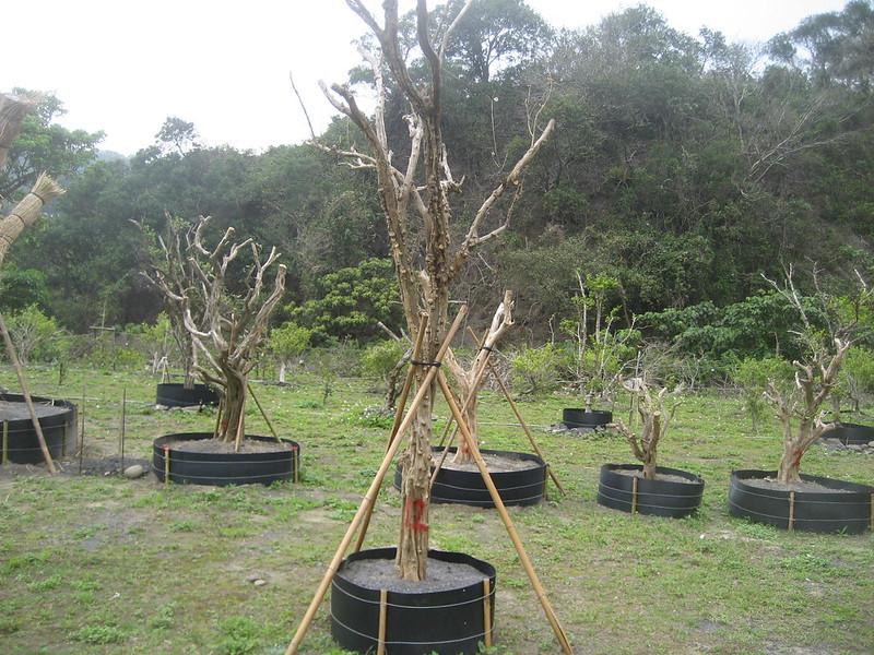 圖7、樹型奇特的七里香常遭盜挖作為園藝奇木