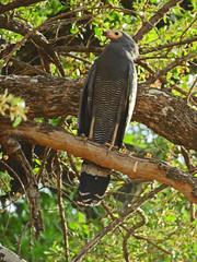gymnogene2; s luangwa national park
