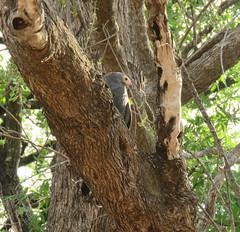 gymnogene6; s luangwa national park