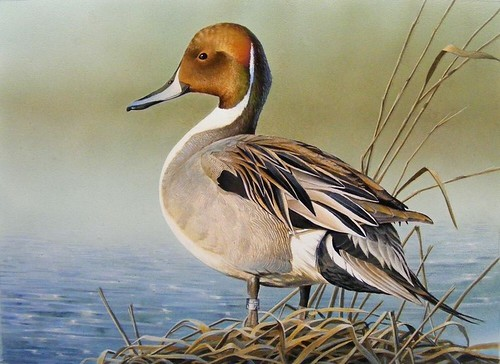 Banded Pintail - Rebekah Knight