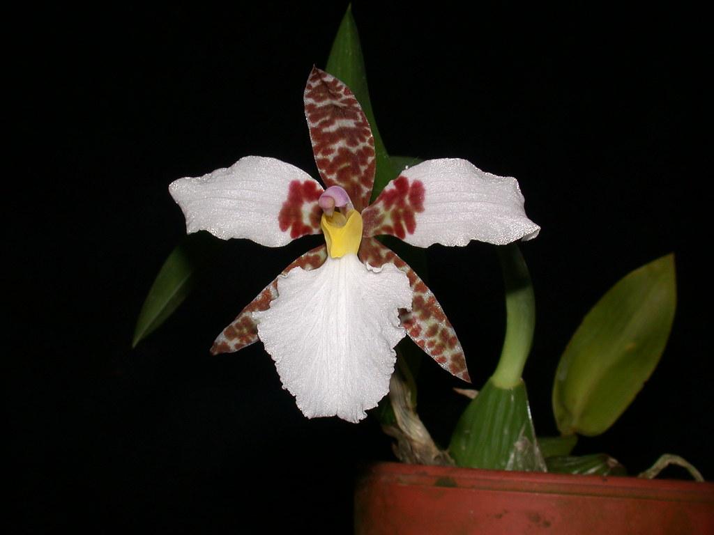 Lemboglossum rossii - Seite 2 32395773697_2b64dec469_b