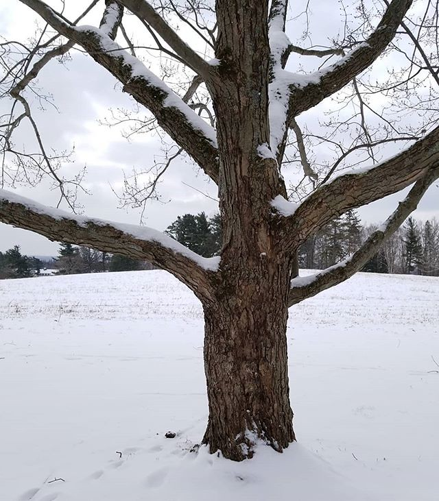 Snowy tree #KnoxFarm #eastaurora #wny #winter #snow #nature #hiking #trees