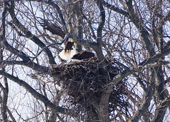 Eagle_nest_construction_3