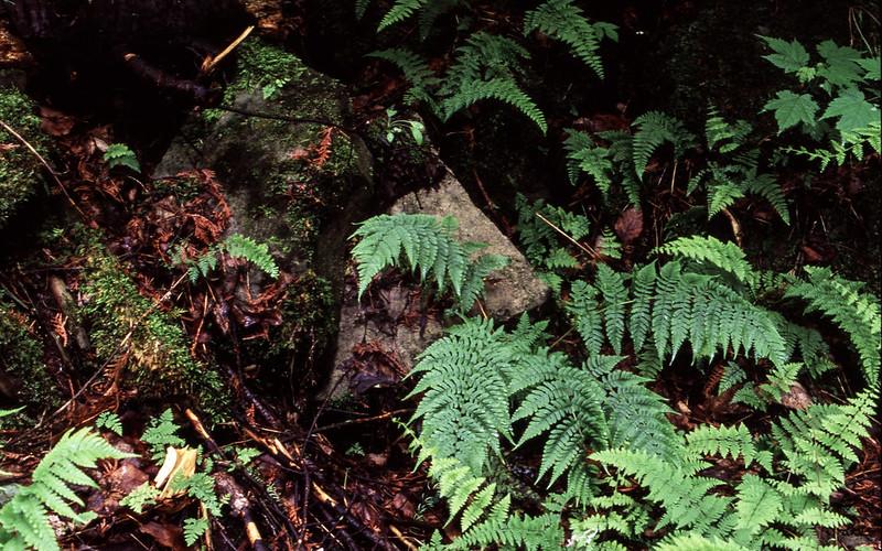 Ferns and Rocks