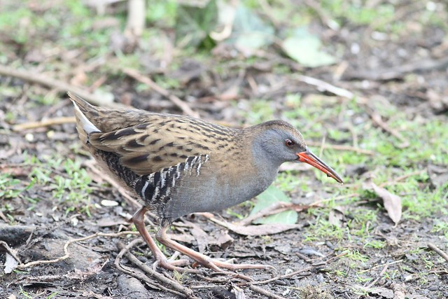 Water Rail, Canon EOS 7D, Canon EF 400mm f/5.6L