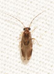 Polypsocus corruptus