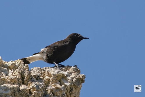 Black Wheatear male_Spain_w_2011