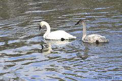 Trumpeter swan & cygnet, Yellowstone River, Hayden Valley