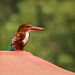 White throated kingfisher square crop