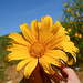 Mexican sunflowers blooming at spring