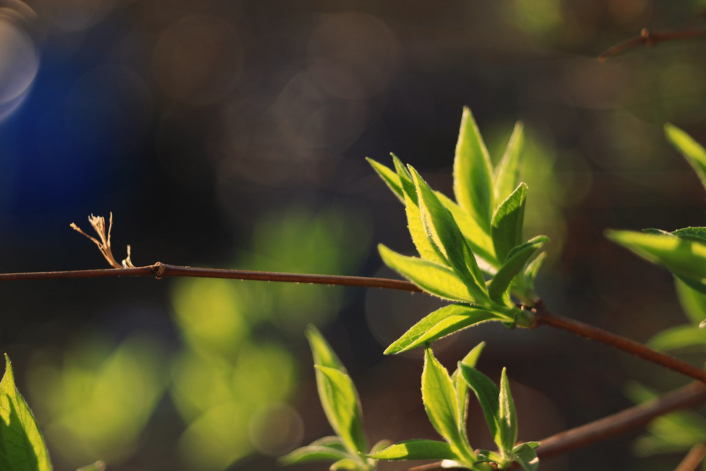 Jasmine leafs