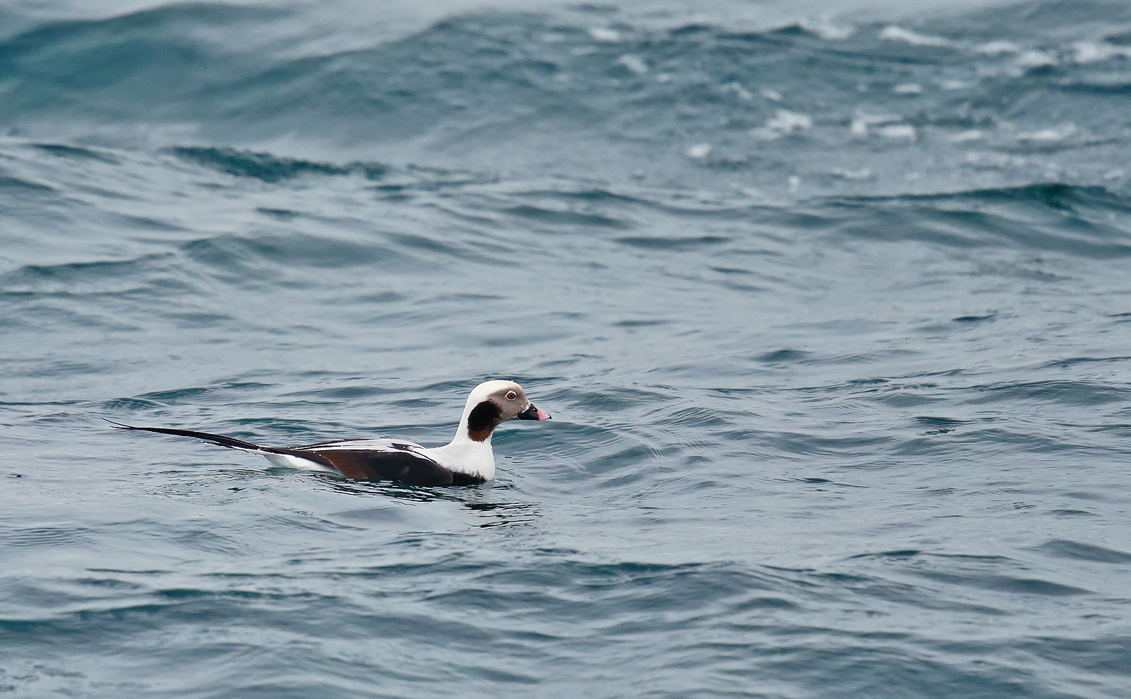 Long-tailed Duck - drake