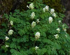 Corydale jaunâtre, Pseudofumaria alba