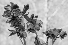mono lenten rose at the botanic garden 09Mar19