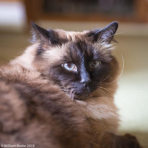 Micky the Rag Doll Cat
