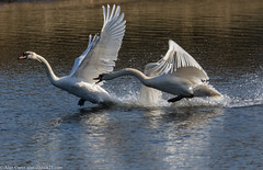 HolderFighting Swans