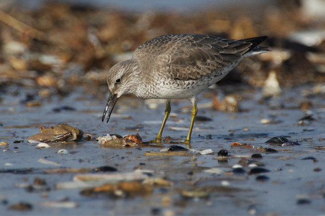 IMGP3201c Knot (feeding on dead crab), Titchwell beach, February 2017