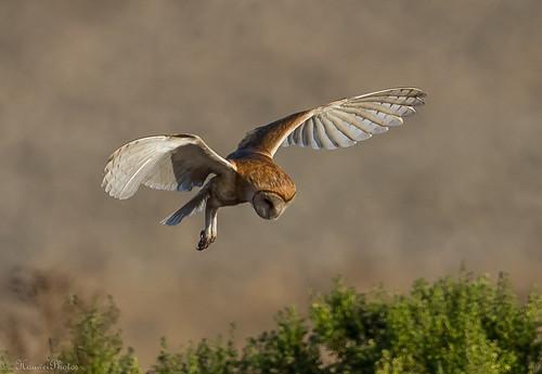 Barn Owl in searching