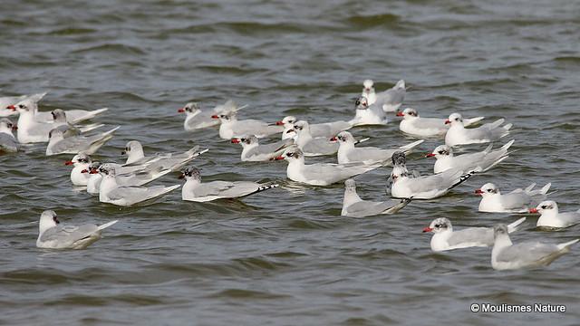 0S8A3763Xx800. Mediterranean Gulls | Larus melanocephalus