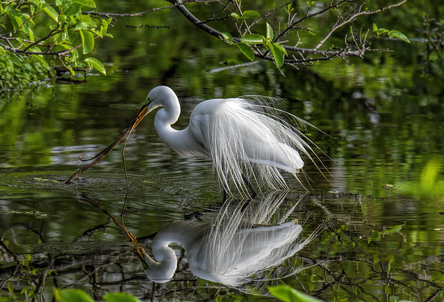 Great egret,reflection,nesting material
