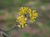 Photo:Cornus officinalis flowers (Japanese cornel, 산수유, 山茱萸, サンシュユ) By Greg Peterson in Japan