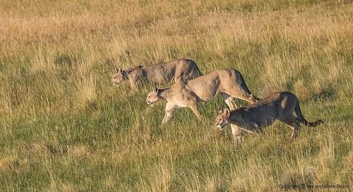 Pumas on Parade
