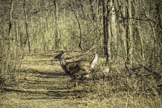 Running Deer at Oxley I | by alnbbates