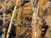 Photo:Black-faced Bunting (Emberiza spodocephala, アオジ) By Greg Peterson in Japan