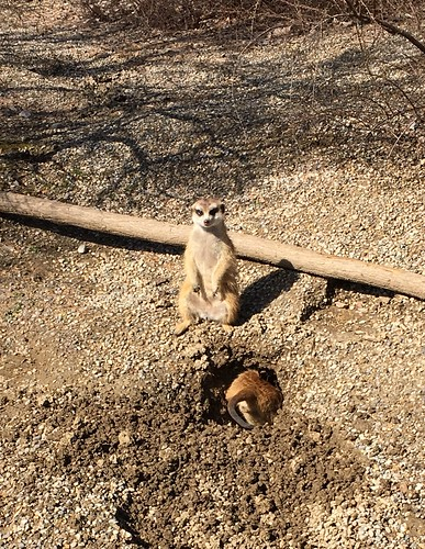 Meerkats during an escape attempt @ the Cincinnati Zoo