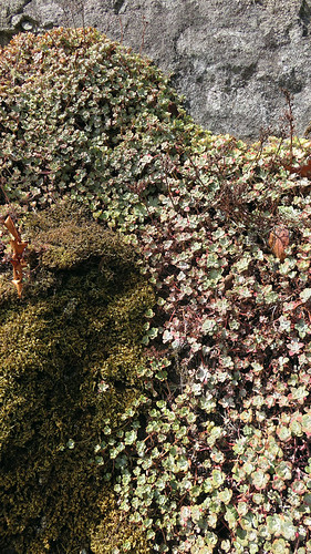 Succulents at East Sooke Park on Vancouver Island, Canada