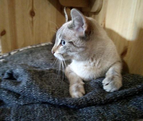 Teryl, preciosa gata siamesa tabby esterilizada nacida en Septiembre´18, en adopción. Valencia. ADOPTADA. 40261898403_b257c8eaae