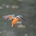 Kingfisher 190317047-2.jpg