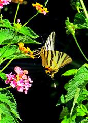 Махаончик на цветочке