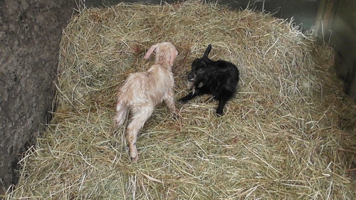 baby goats Mar 19 (1)