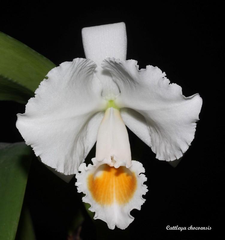 Cattleya chocoensis 46647742014_cae482f7b2_c