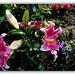 <p><a href=&quot;http://www.flickr.com/people/137018662@N03/&quot;>andrzejskałuba</a> posted a photo:</p>&#xA;&#xA;<p><a href=&quot;http://www.flickr.com/photos/137018662@N03/46694610524/&quot; title=&quot;Z albumu &amp;quot;Lilie&amp;quot;&quot;><img src=&quot;http://farm8.staticflickr.com/7847/46694610524_219a174a1a_m.jpg&quot; width=&quot;240&quot; height=&quot;149&quot; alt=&quot;Z albumu &amp;quot;Lilie&amp;quot;&quot; /></a></p>&#xA;&#xA;<p>From the album &amp;quot;Lilies&amp;quot;</p>
