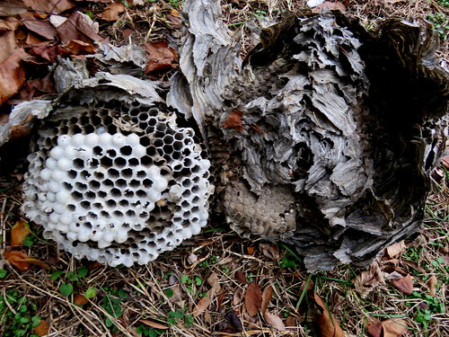 an old wasp's nest