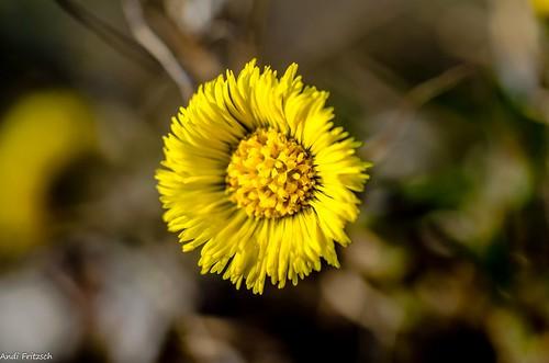 Eine Huflattichblüte/ a coltsfoot flower