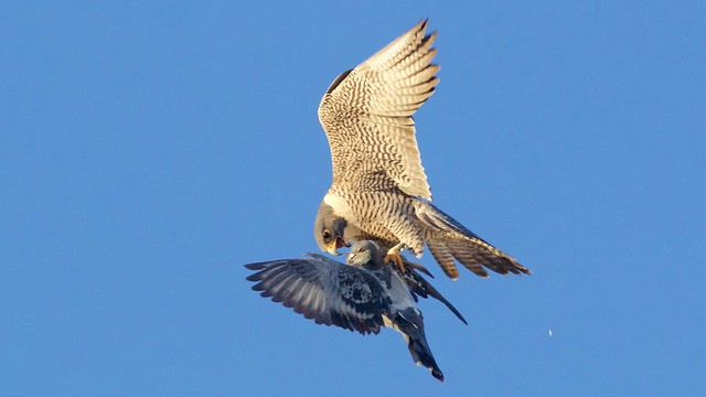 peregrine falcon adult female, Canon EOS 70D, Canon EF 400mm f/5.6L