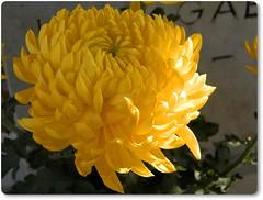 yellow flower- sárga virág