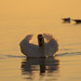 Posierender Schwan im Bodensee
